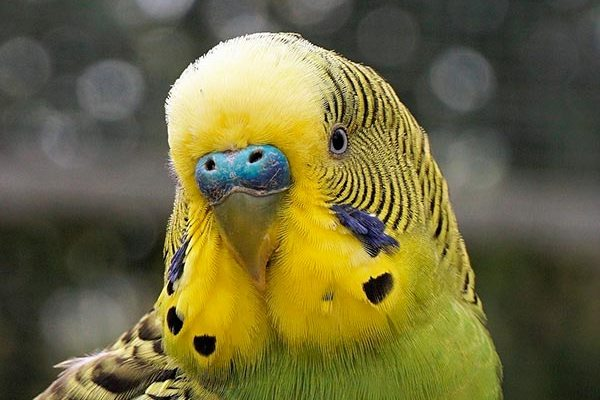 Клюв попугая