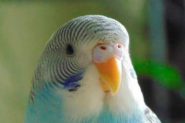Восковица попугая
