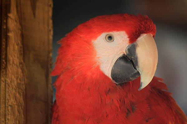 почему попугай не чирикает