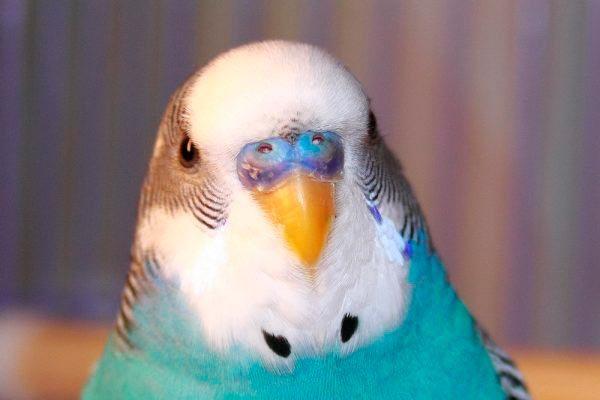 помет волнистого попугая
