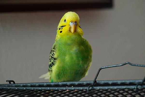 рвота у волнистого попугая
