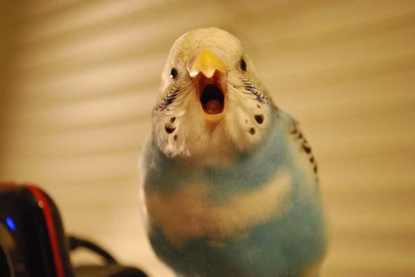 Кричит попугай