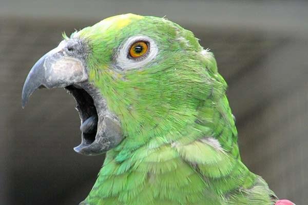 Попугай постоянно кричит