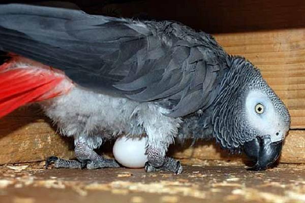 может ли попугай снести яйцо без самца