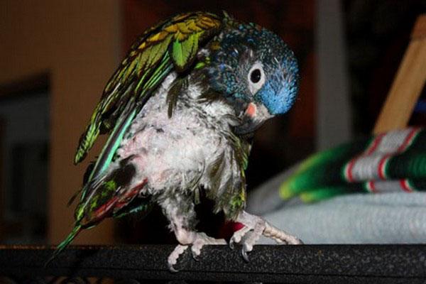 попугай вырывает перья