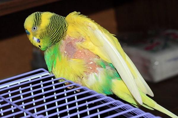 попугай выщипывает перья