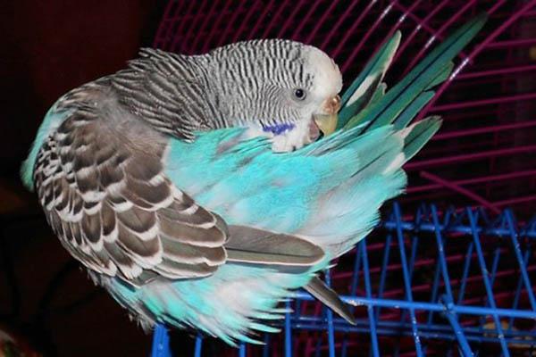 волнистик выщипывает перья