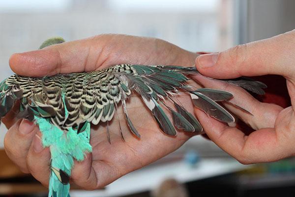 пероеды у попугаев