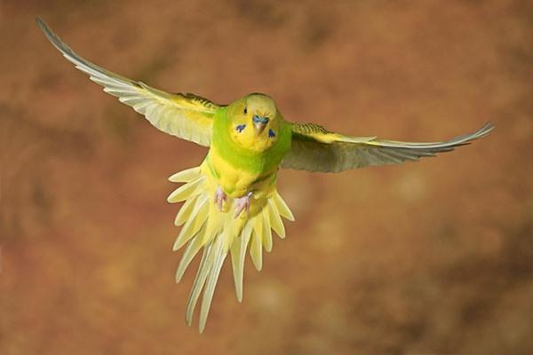 почему волнистый попугай не летает
