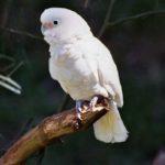 попугай какаду гоффина