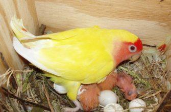 сколько высиживают яйца попугаи неразлучники