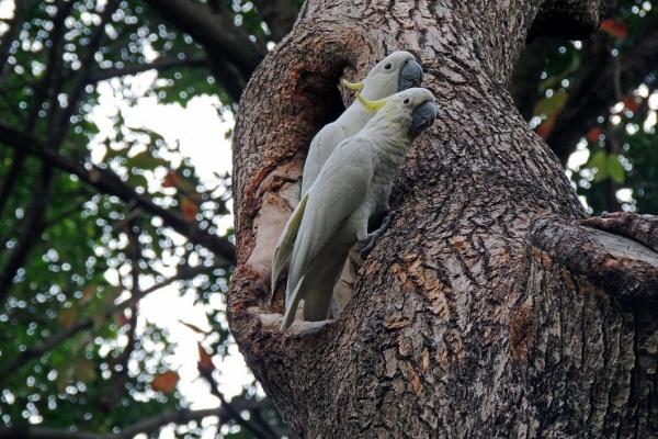 желтохохлые какаду